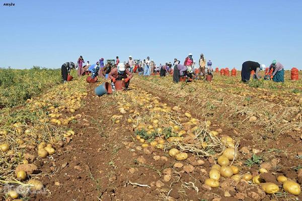 Karantina nedeniyle 25 ilde patates ekimi yasaklandı