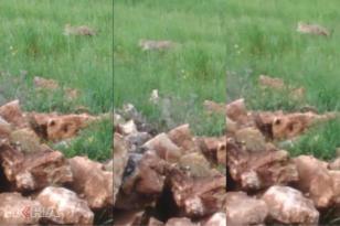 VİDEO HABER: Diyarbakır'daki leopar ilk kez görüntülendi