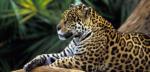 VİDEO HABER: Leoparlar drone ile aranıyor
