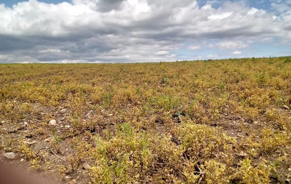 Sağanak yağış mercimek hasadını vurdu