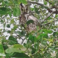 Çınar'da nesli tükenmekte olan boynuzlu baykuş görüldü