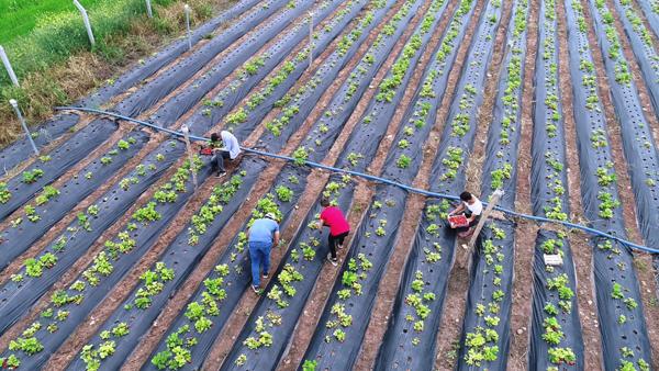 Diyarbakır'da organik çilek hasadına başlandı