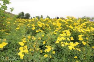 Video Haber: Doğu Anadolu sarı güllerle süslendi