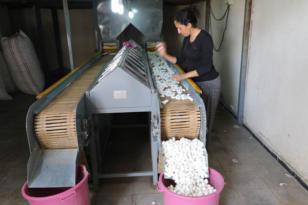 Kulp ilçesi ipek böcekçiliği üretiminde birinci sırada