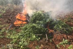 Video Haber: 850 kök kenevir bitkisi imha edildi