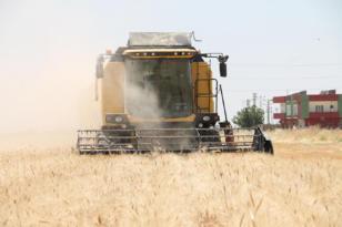 Video Haber: Mardin Ovası'nda hasat zamanı