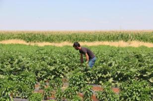 Video Haber: 'Yerli tohumun desteklenmesini istiyoruz'