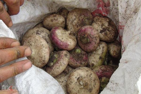 Video Haber: Tohumu bitme aşamasına gelen şalgam için harekete geçildi