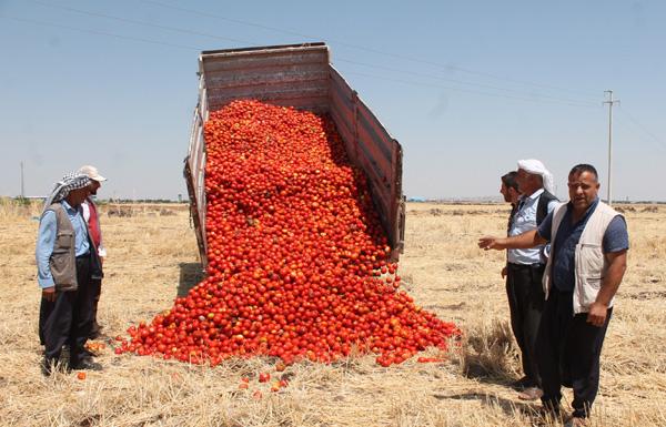 Satamadığı tonlarca domatesi tarlaya döktü