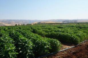 Video Haber: Çiftçiler için alternatif ürün yetiştiriliyor