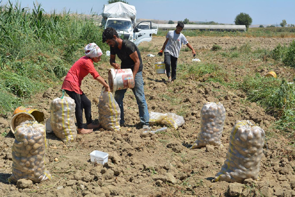 Video Haber: İlk kez ektikleri patatesin hasadını gerçekleştirdiler