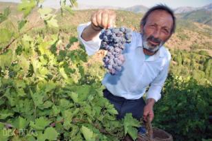 Video Haber: Bitlis ekonomisine büyük katkı sunan üzüm hasadına başlandı