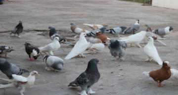 Karantina döneminde kuşların ötüşleri değişti