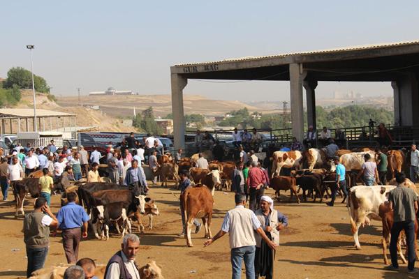 Diyarbakır'da hayvan hastalıkları ile mücadele: Şap Aşılama Kampanyası