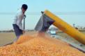 Video Haber: Mısır'da verim düşük maliyet yüksek