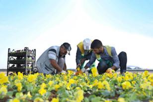1 milyon kışlık mevsimlik çiçek dikilecek