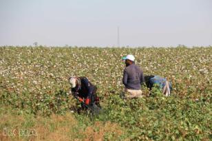 VİDEO HABER – 'Elle toplanan pamukları naylon torbalara koymayın'
