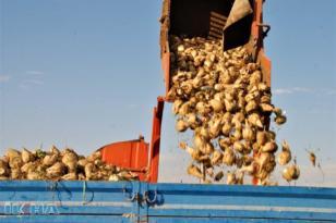 VİDEO HABER – Şeker pancarı üreticileri fiyat ve hasattan memnun