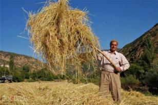 VİDEO HABER – Asırlardır üretilen pirincin hasadına başlandı