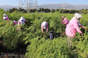 VİDEO HABER – İsmini bile bilmedikleri moringayı Türkiye'ye tanıttılar