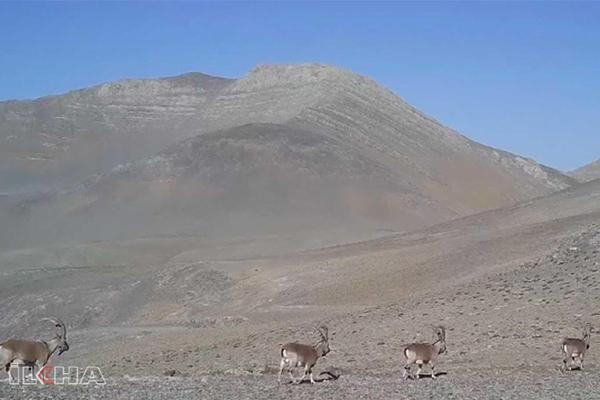 VİDEO HABER – Yaban keçilerinin geçit töreni kameralarda