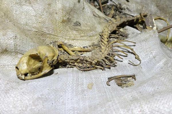 VİDEO HABER – Sur'da esrarengiz hayvan iskeleti bulundu