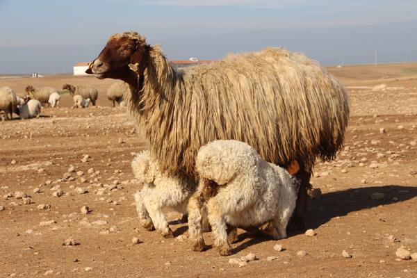 İvesi cinsi koyun popülasyonu artıyor!