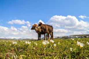 VİDEO HABER – Baharın müjdecisi kardelenler doğayı süsledi