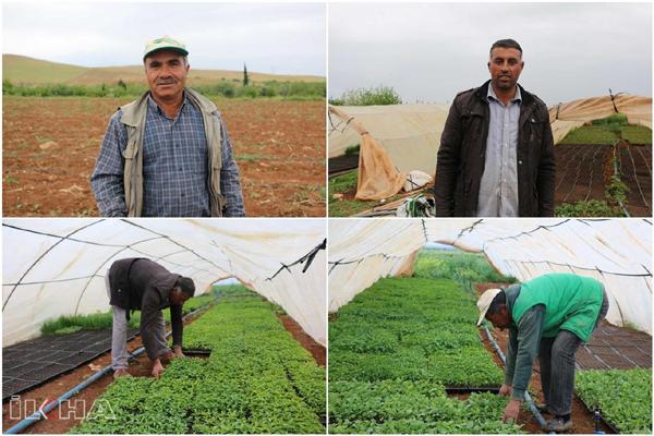 VİDEO HABER – Tarım işçileri hem oruç tutuyor hem tarlada çalışıyor