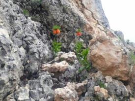 Diyarbakır'da ters laleler çiçek açtı