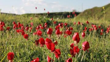 Anemoneler doğayı kırmızıya bürüdü