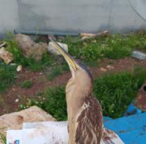 Çınar'da balaban kuşu görüntülendi
