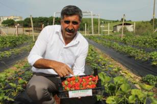 Yağışlar verimi düşürdü: Hazro'da çilek hasadı başladı