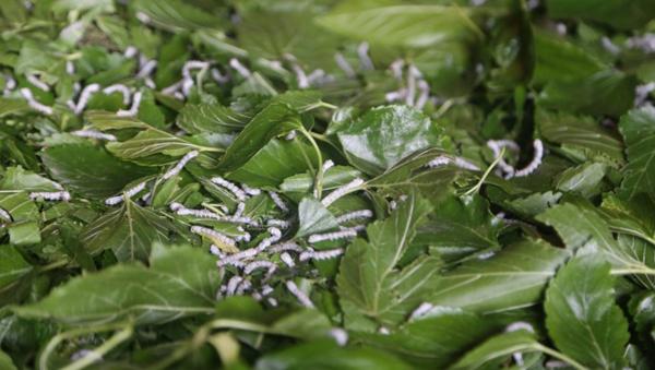 İpek böcekleri dut yaprağına doymuyor