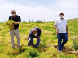 Sarı mercimek üretimine başlandı