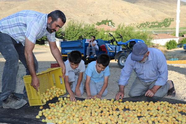 VİDEO HABER – Kayısı hasadına başlayan çiftçiler dertli!