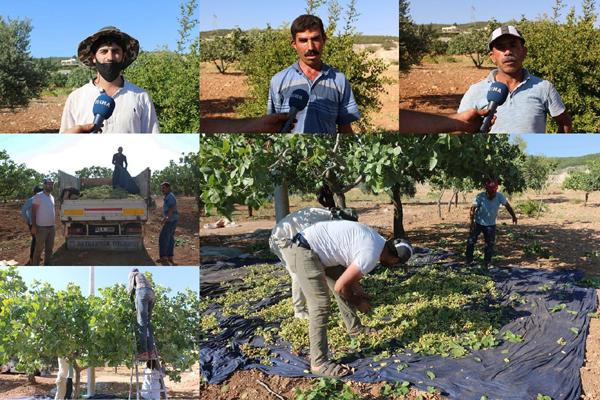 VİDEO HABER – Kavurucu sıcaklıkta fıstık hasadı