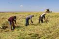 Karacadağ Pirinci hasadı başladı