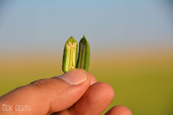 VİDEO HABER – Susam hasadı yapıldı